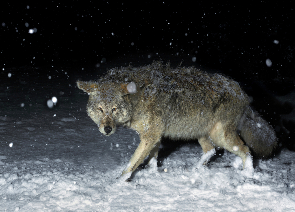 Best Light for Coyote Hunting at Night