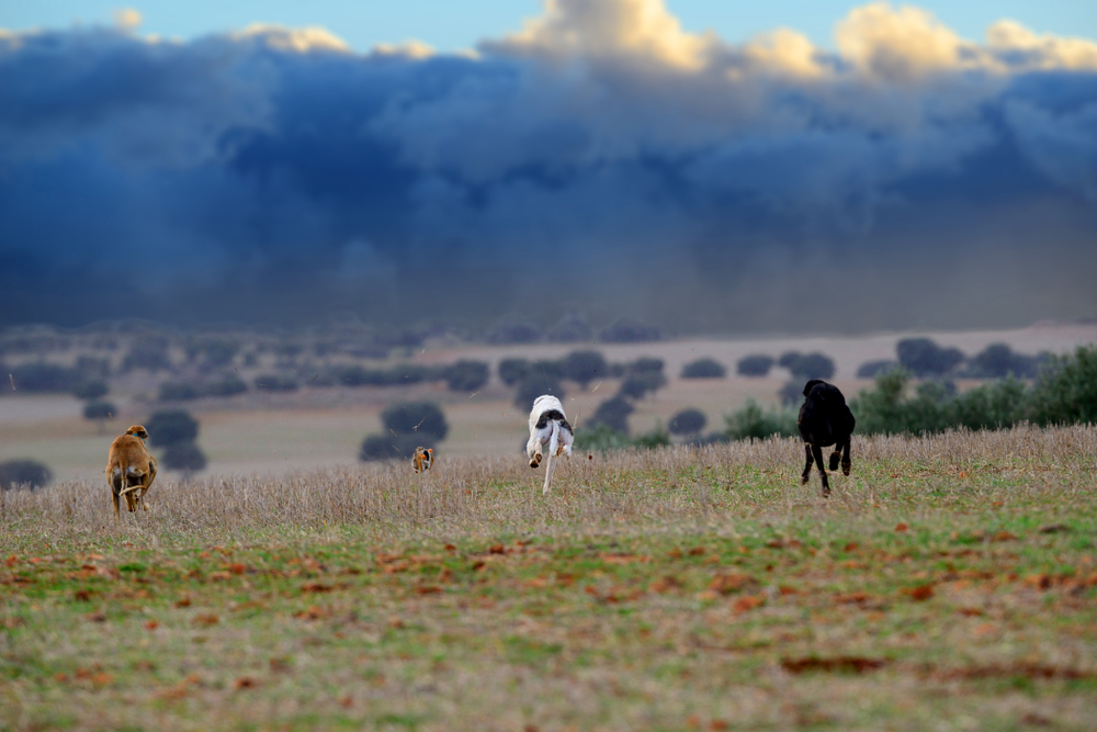 Hunting Coyotes With Greyhounds